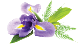 botanical ingredients for Uriel's Equisetum Iris ointment